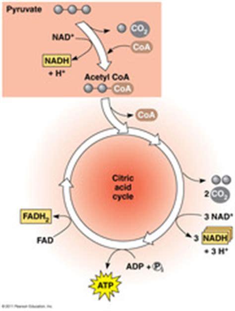 Ap biology essay photosynthesis respiration